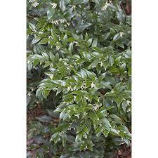 Fragrant Plants Shop Monrovia 1 6 Gallon White Fragrant Sweet Box Flowering Shrub