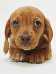 image animal wallpapers cute brown puppy wallpaper 33466 jpg