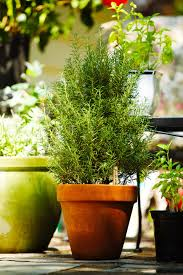 plants that keep mosquitoes away keep the bugs away with these 6 natural pest repellent plants