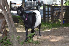 top 5 goat health questions answered feather and scale farm