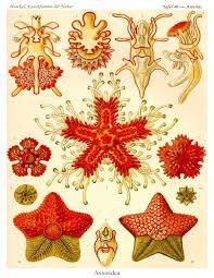 starfish poster starfish art print ernst haeckel art nouveau
