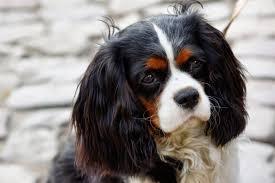 afghan hound in apartment u0027s dog blog 25 tricolor dog breeds