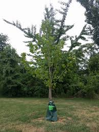 watering trees in arlington county environment