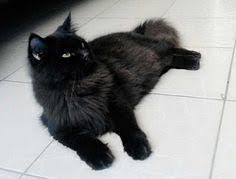 hukum memandulkan kucing hukum memandulkan kucing dalam islam memelihara kucing dalam islam