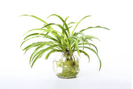 growing a spider plant in water u2013 leaving rooted spider plants in