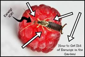 homemade earwigs bug garden trap the homestead survival