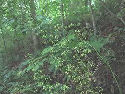 native nc plants north carolina native plants society native plants gallery