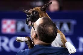 boxer dog shows 2016 westminster dog show 2017 rumor the german shepherd wins best in
