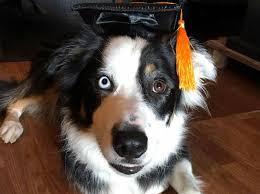 dog graduation cap dog schedule harveys home garden