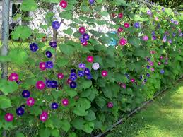 Backyard Landscaping Ideas For Privacy by Growing Morning Glories And Clematis Up Chain Link Fence For