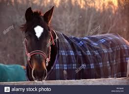 blanketed morgan gelding horse outside late afternoon in winter