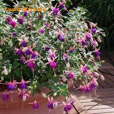 Aliexpress Com Buy Land Miracle Deep Purple W White Fuchsia