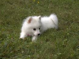 american eskimo dog meme 50 very cute american eskimo puppy pictures and images
