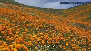 how to see the southern california u0027super bloom u0027 before time runs