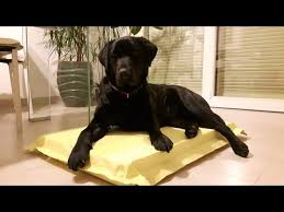 the indestructible dog bed the last that you will buy youtube
