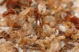 Do Bed Bugs Get On Dogs Bed Bugs Rentokil