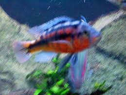 hap cichlids com my lake victorian hap i think its called a uganda