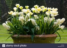 Large Planter Pot by White Tulips In Large Garden Flower Pot Stock Photo Royalty Free