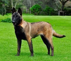 belgian malinois names belgian malinois dogs amino