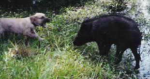 starting hog dog