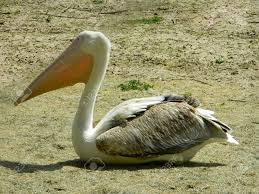 pelicans are a genus of large water birds that makes up the family