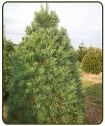 scotch pine christmas tree cosgray christmas trees llc