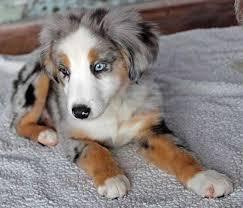 australian shepherd idaho mini australian shepherd puppy for sale in boca raton south florida