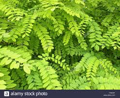 pale green foliage stock photos pale green foliage stock images