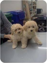 1 week old bichon frise 4 11 week old bichon poodles adopted puppy killingworth ct