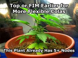 Recovering Cannabis Plants From High by Topping Vs Fiming Cannabis Get Step By Step Instructions Grow