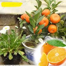 best price 10 pcs bag patio balcony potted bonsai orange