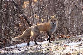 how to attract a fox back yard biology