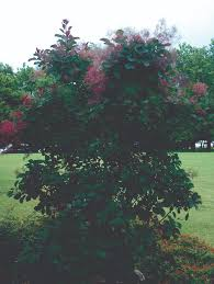 plants native to oklahoma smoke tree oklahoma gardener plants