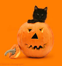 black cat halloween background black maine coon kitten with halloween pumpkin photo wp34616
