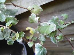 plants for sale variegated english ivy plants in a 9 cm square pot