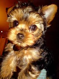 tea cup yorkie hair cuts 11 good teacup yorkie haircuts oganaija com