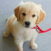 Comfort Retriever Puppies For Sale Golden Retriever Puppies Salt Lake City Classifieds Claz Org