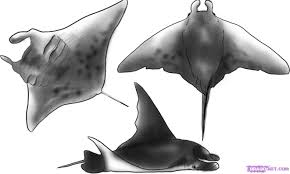 how to draw a manta ray step by step fish animals free online