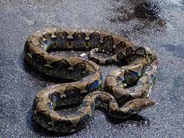 film ular phyton meraup rupiah dari bisnis ular phyton kumpulan ide kreatif