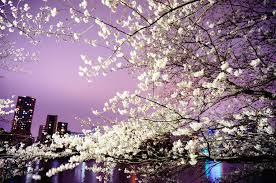 this beautiful cherry blossom festival will light up your life
