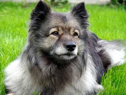 american eskimo dog gestation period keeshond dog breed information pictures characteristics u0026 facts