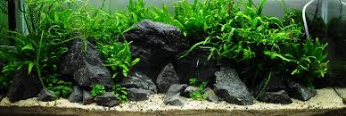 aquascaping layouts with stone and driftwood yamaya stone information where to buy red cherry shrimp