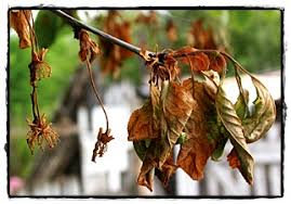 cherry tree diseases weeds in lawn lawn maintenance and care
