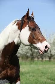 best 25 brown horse ideas on pinterest horses pretty horses