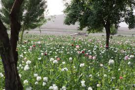 opium production in afghanistan wikipedia