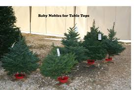 baby noble firs south texas christmas trees holiday hills