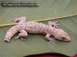 beneficial lizards in the landscape 17 mediterranean gecko