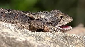 Backyard Reptiles Mountain Dragon Lizards In The Backyard U0027here Be Dragons U0027 Youtube