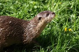 boyne valley activities 10 facts about otters in the boyne valley