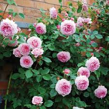 rose climbing collection 4 roses